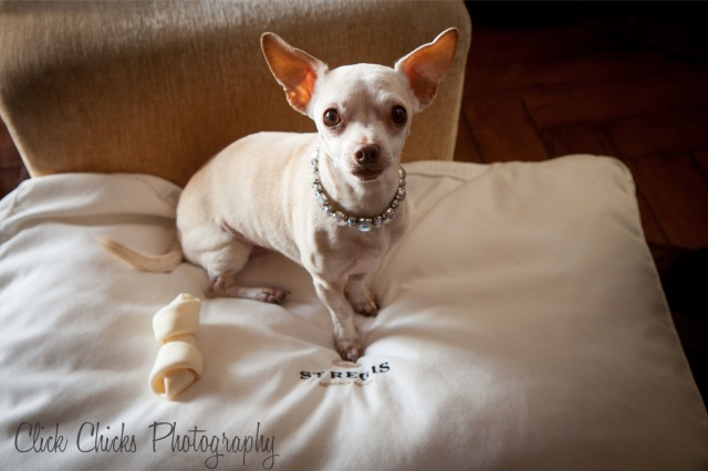 A truly pampered pooch with his own monogramed hotel pillow.